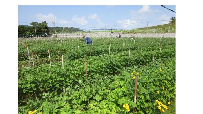 ~畑作業~ 小菊栽培の作業風景。草取りや選別作業等を行います。